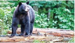 Help the AGFC keep tabs on  Arkansas's bear population