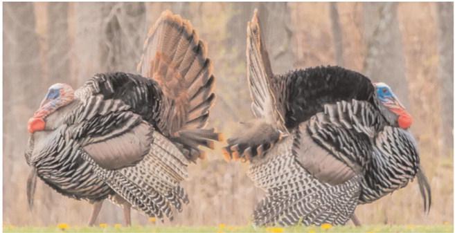 Help keep tabs on Arkansas's turkeys through program