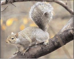 Summer Squirrel Season