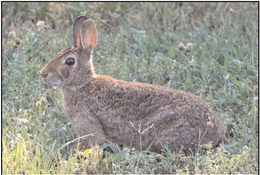 AGFC on the lookout for new rabbit virus
